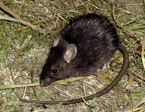 Крысиные блохи являются потенциальными переносчиками бубонной чумы