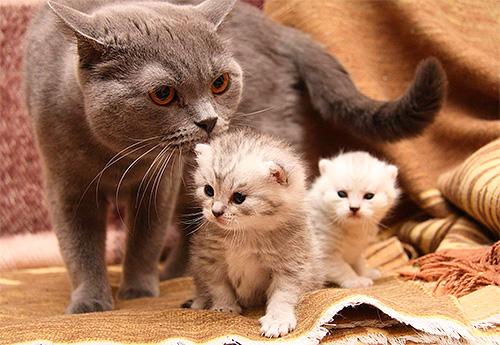 Нужно учитывать, что кошка вылизывает котят и может слизать инсектициды от блох