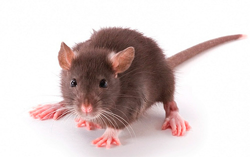 Опасно ли попадание крысиных блох в квартиру?