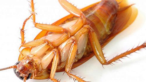 Гель Раптор от тараканов весьма эффективен