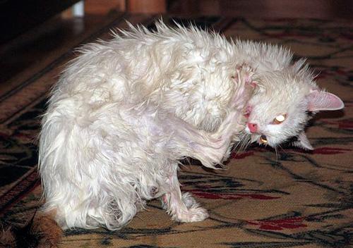 Нельзя давать кошке слизывать с себя шампунь