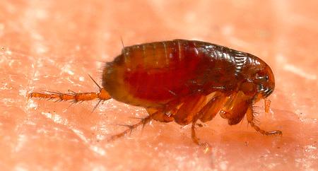 Народные средства от насекомых обычно отпугивают блох, но не убивают их