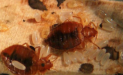 Благодаря метафосу Тетрикс хорошо уничтожает кровососущих насекомых и их личинки