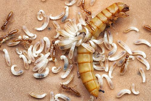 Личинки муравьев нуждаются в белковой пище