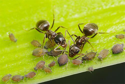 Тля выделяет падь, которую так любят есть муравьи