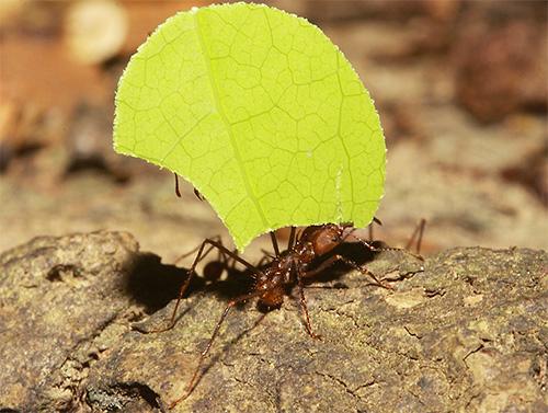 Муравьи-листорезы собирают листья, чтобы выращивать потом на измельченной массе грибы