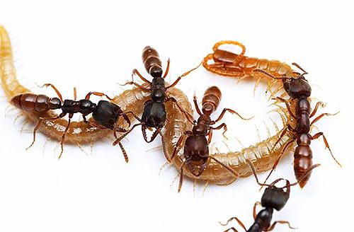 Муравей-дракула ловит разных насекомых и кормит ими своих личинок
