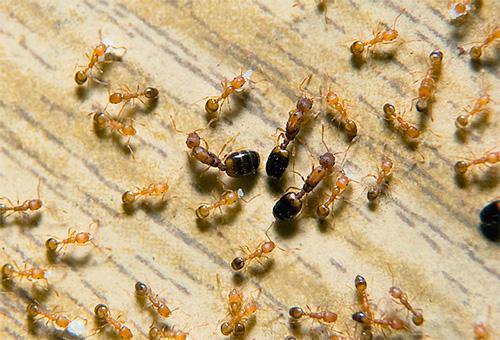 Матки фараоновых муравьев в окружении рабочих особей