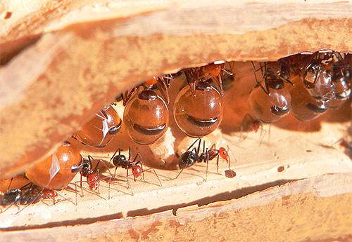 Брюшко медовых муравьев наполнено сладкой жидкостью