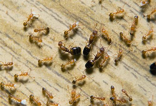В гнезде фараоновых муравьев может одновременно существовать несколько маток