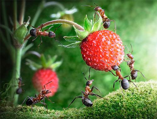 В мировой литературе муравьи являются символом трудолюбия