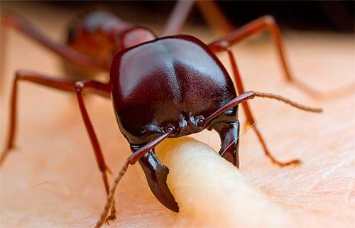 Если муравьи во сне ползают по телу и кусают...