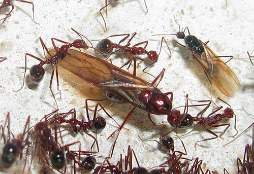 Сон с крылатыми муравьями - плохой знак
