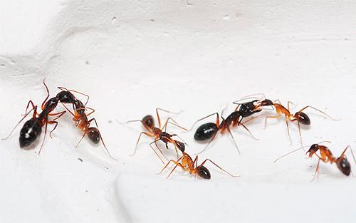 Мелки и дусты необходимо использовать на путях возможного перемещения насекомых в квартире