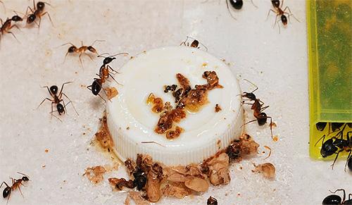 Бороться с домашними муравьями нужно комплексно