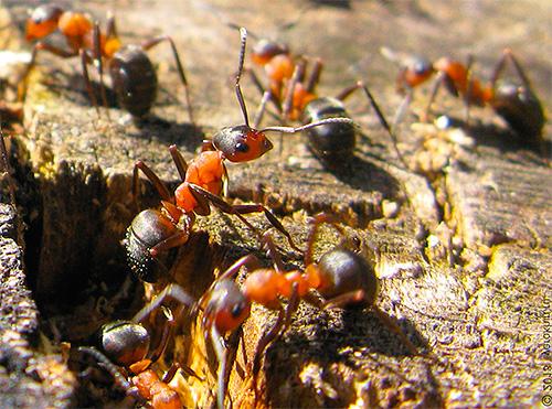 Зимовка является важным этапом в жизни всего муравейника, поэтому муравьи к ней тщательно готовятся