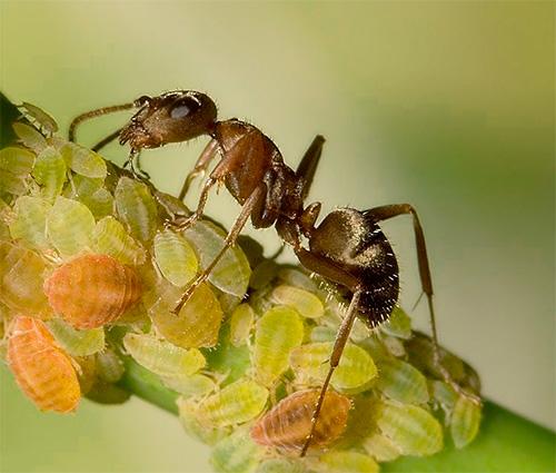 Иногда муравьи уносят тлю под землю в свой муравейник