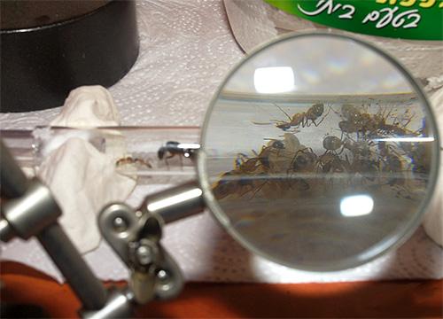 На примере домашнего муравейника удобно смотреть за подготовкой муравьев к зиме