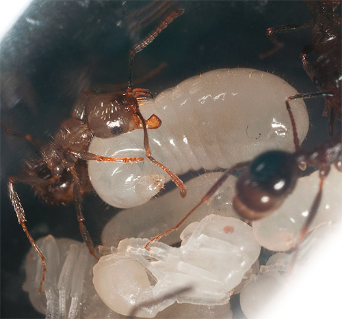 Муравьи некоторых видов продолжают кормить личинок даже зимой