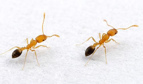 Если в доме изредка обнаруживаются муравьи, полезно предпринять профилактические меры