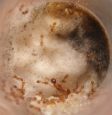Гнездо домашних муравьев может располагаться как в квартире, так и за ее пределами