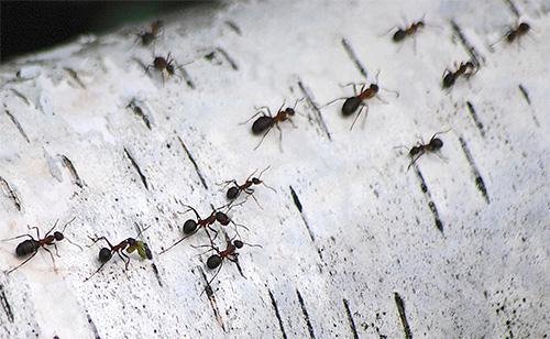 При нахождении дороги домой все виды муравьев используют химические метки
