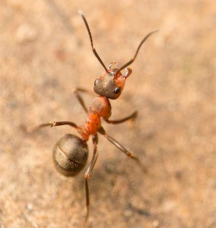 Важной для муравьев является и ориентация по Солнцу