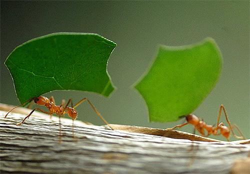 Есть мнение, что в поисках дороги домой муравьи ориентируются также по магнитному полю Земли