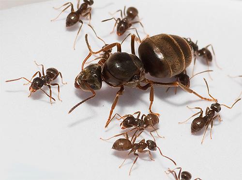 Матка домашнего муравья - сердце всей колонии