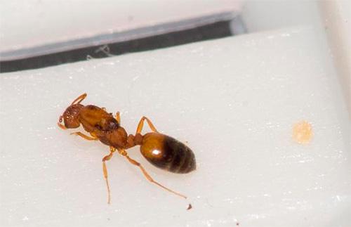 Тело у матки домашних муравьев обычно темно-коричневое