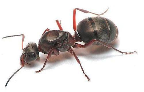 Фотография муравьиной матки крупным планом