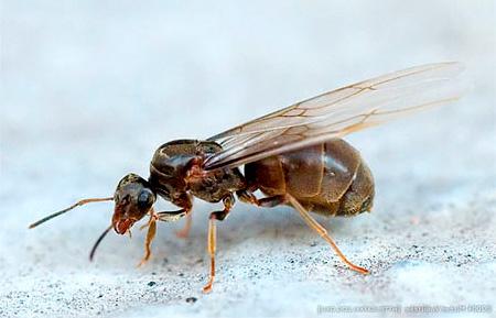 Крылатая самка домашнего муравья