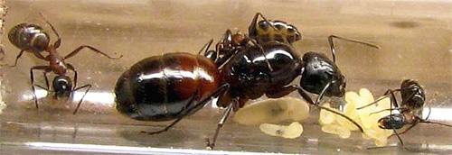 Матка домашних муравьев рядом с яйцами