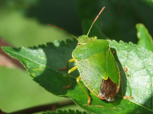 Зеленый клоп щитник имеет красивое латинское название Palomena prasina