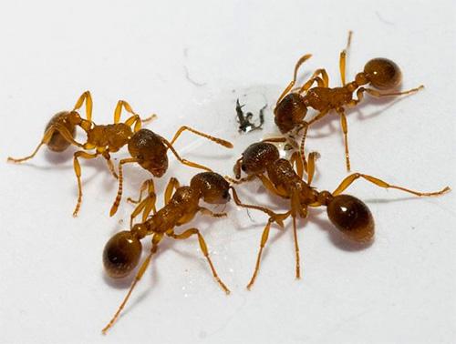 Лучшим местом размещения ловушки являются муравьиные тропы