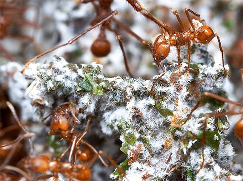 На измельченных листьях маленькие грибоводы выращивают специальный гриб