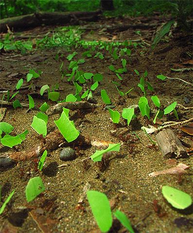 Муравьи-листорезы используют для своих ферм самый простой и доступный материал - листья