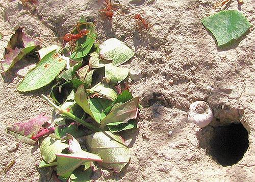 Муравейники листорезов находятся под землей