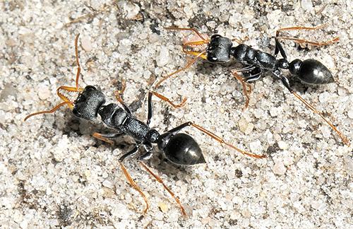 От укусов муравьев-бульдогов гибнет немало людей