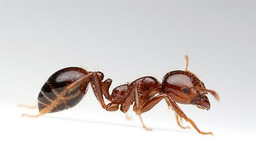 Огненный красный муравей может жалить очень больно