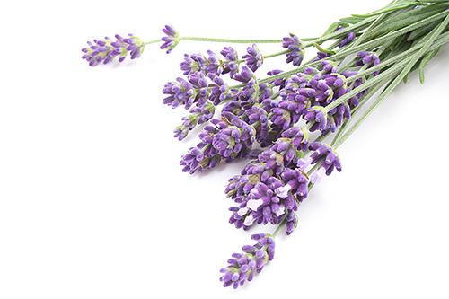 Цветы лаванды давно используются в народе как средство от моли