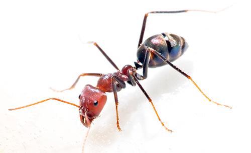 Для эффективной борьбы с домашними муравьями нужно кооперировать усилия с другими жильцами дома