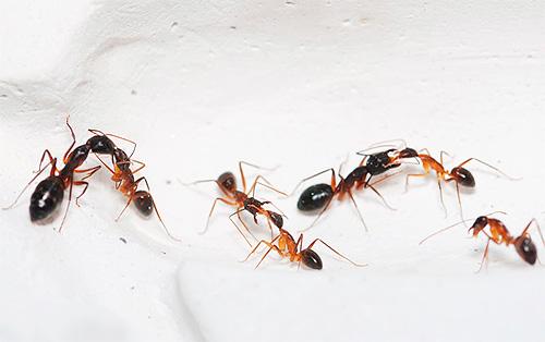 Еще одна фотография домашних муравьев