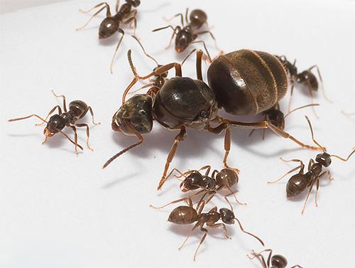 Домашние муравьи и их матка