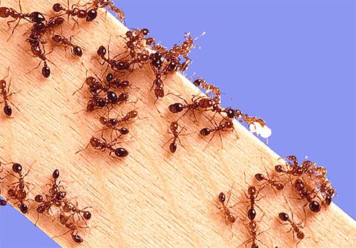 Квартира для домашних муравьев - это их территория для поиска пищи