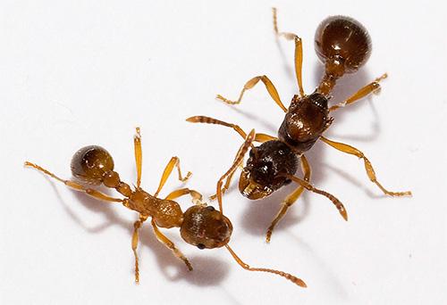 У разных видов муравьев ноги на теле располагаются примерно одинаково