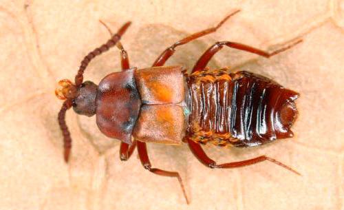 Ломехуза - этот жук способен беспрепятственно проникать в муравейник