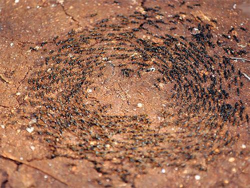 На фотографии показан бег муравьев по кругу