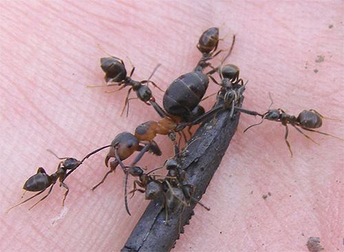 Чем меньше муравей, тем больше его сила, приходящаяся не единицу массы