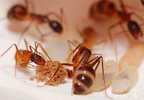 Посмотрим, как и чем можно эффективно уничтожить домашних муравьев в квартире